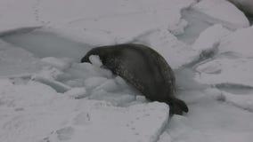 Σφραγίδα Weddell που σέρνεται στον πάγο σε ένα polynya κάτω από τον πάγο και βουτά σε τον απόθεμα βίντεο