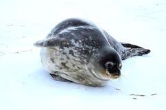 Σφραγίδα Weddell σε Atartica Στοκ εικόνα με δικαίωμα ελεύθερης χρήσης