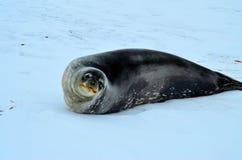 Σφραγίδα Weddell σε Atartica Στοκ εικόνες με δικαίωμα ελεύθερης χρήσης
