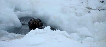 Σφραγίδα Weddell σε Atartica Στοκ Εικόνες
