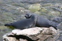 σφραγίδες δύο άγρια περι&omi Στοκ φωτογραφίες με δικαίωμα ελεύθερης χρήσης
