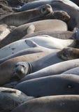 σφραγίδες ομάδας ελεφάν Στοκ εικόνα με δικαίωμα ελεύθερης χρήσης