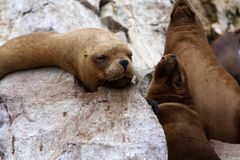 Σφραγίδες στα νησιά Ballestas, Περού Στοκ εικόνες με δικαίωμα ελεύθερης χρήσης