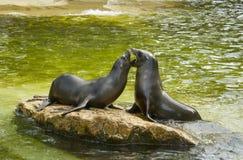 σφραγίδες στο παιχνίδι στο ζωολογικό κήπο στοκ φωτογραφίες