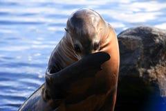 Σφραγίδα από το νερό Στοκ φωτογραφίες με δικαίωμα ελεύθερης χρήσης