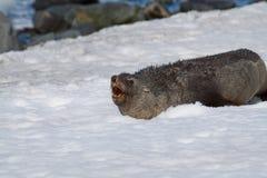 σφραγίδα βρυχηθμού γουνώ& Στοκ εικόνες με δικαίωμα ελεύθερης χρήσης