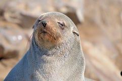 Σφραγίδα γουνών ακρωτηρίων Στοκ φωτογραφία με δικαίωμα ελεύθερης χρήσης