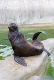 Σφραγίδα γουνών, λιοντάρι θάλασσας στοκ εικόνα με δικαίωμα ελεύθερης χρήσης