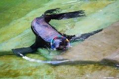 Σφραγίδα γουνών, λιοντάρι θάλασσας στοκ φωτογραφία με δικαίωμα ελεύθερης χρήσης