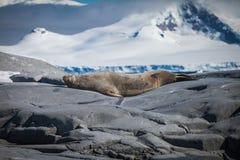 Σφραγίδα γουνών στο βράχο Στοκ Φωτογραφίες