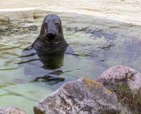 Σφραγίδα γουνών στο νερό Στοκ Εικόνα