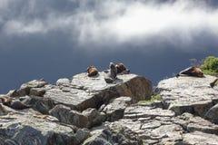 Σφραγίδα γουνών της Νέας Ζηλανδίας στο μακρύ σκόπελο, ήχος Milford Στοκ Εικόνες