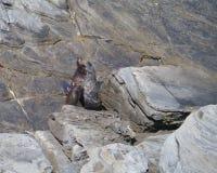 Σφραγίδα γουνών της Νέας Ζηλανδίας Στοκ Εικόνα