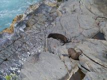 Σφραγίδα γουνών της Νέας Ζηλανδίας Στοκ Φωτογραφία