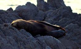 Σφραγίδα γουνών της Νέας Ζηλανδίας Στοκ Φωτογραφίες