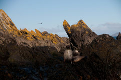 Σφραγίδα γουνών Prion στο νησί Στοκ φωτογραφία με δικαίωμα ελεύθερης χρήσης