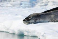 Σφραγίδα λεοπαρδάλεων που στηρίζεται στο επιπλέον πάγο πάγου στοκ εικόνες