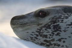 Σφραγίδα λεοπαρδάλεων στο επιπλέον πάγο πάγου Στοκ Φωτογραφίες