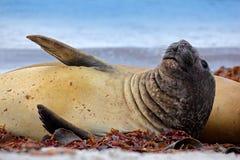 Σφραγίδα ελεφάντων, leonina Mirounga Σφραγίδα στην παραλία άμμου Σφραγίδα ελεφάντων με τη φλούδα από το δέρμα Μεγάλο ζώο θάλασσας Στοκ φωτογραφίες με δικαίωμα ελεύθερης χρήσης