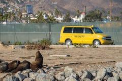 Σφραγίδα λιονταριών θάλασσας που χαιρετά για ένα κίτρινο αμάξι Στοκ Φωτογραφία