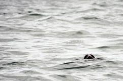 Σφραγίδα που εξετάζει τη κάμερα Στοκ Φωτογραφίες