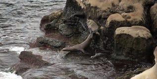 Σφραγίδα σε έναν βράχο Στοκ φωτογραφία με δικαίωμα ελεύθερης χρήσης