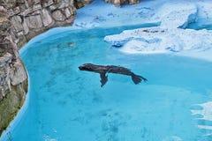 Σφραγίδα στο μπλε νερό 4 Στοκ φωτογραφία με δικαίωμα ελεύθερης χρήσης