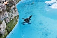 Σφραγίδα στο μπλε νερό 5 Στοκ Εικόνα