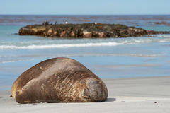 σφραγίδα των Νήσων Φώκλαντ &eps Στοκ εικόνες με δικαίωμα ελεύθερης χρήσης