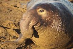 Σφραγίδα Bull ελεφάντων στην παραλία Στοκ φωτογραφία με δικαίωμα ελεύθερης χρήσης