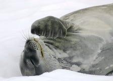 σφραγίδα weddel Στοκ εικόνες με δικαίωμα ελεύθερης χρήσης