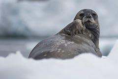 Σφραγίδα Weddell που βάζει στον πάγο Στοκ Φωτογραφίες
