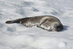 Σφραγίδα Weddell που βρίσκεται σε ένα κάλυμμα του χιονιού. Στοκ Φωτογραφίες