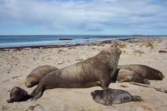 Σφραγίδες ελεφάντων - Νήσοι Φώκλαντ Στοκ Φωτογραφίες