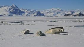 Σφραγίδες ομάδας crabeater που βρίσκονται στον πάγο ενάντια στο σκηνικό των βουνών φιλμ μικρού μήκους