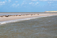 Σφραγίδες σε μια τράπεζα άμμου μπροστά από την ακτή των Κάτω Χωρών Στοκ φωτογραφία με δικαίωμα ελεύθερης χρήσης