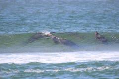 Σφραγίδες στα κύματα στοκ φωτογραφία