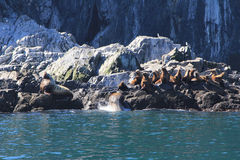 Σφραγίδες στο νερό Στοκ Εικόνες