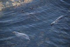 Σφραγίδες της ακτής Στοκ εικόνα με δικαίωμα ελεύθερης χρήσης