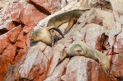 Σφραγίδες & x28 γουνών θάλασσα lions& x29  κάνοντας ηλιοθεραπεία στους κόκκινους απότομους βράχους νησιών Ballestas, στο Περού Στοκ Εικόνα