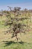 Σφυρίζοντας δέντρο ακακιών αγκαθιών στοκ εικόνες