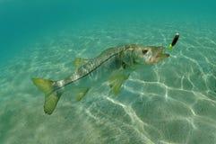 Σφύραινες στον ωκεανό που κυνηγούν το θέλγητρο Στοκ φωτογραφία με δικαίωμα ελεύθερης χρήσης
