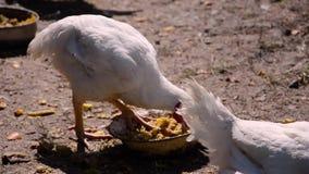 Σχάρες κοτόπουλου φιλμ μικρού μήκους