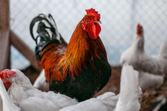 Σχάρες κοτόπουλου Φάρμα πουλερικών Στοκ εικόνα με δικαίωμα ελεύθερης χρήσης