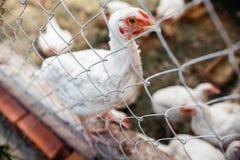 Σχάρες κοτόπουλου Φάρμα πουλερικών Στοκ φωτογραφία με δικαίωμα ελεύθερης χρήσης