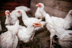 Σχάρες κοτόπουλου Φάρμα πουλερικών Στοκ φωτογραφίες με δικαίωμα ελεύθερης χρήσης
