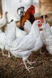 Σχάρες κοτόπουλου Φάρμα πουλερικών Στοκ Φωτογραφίες