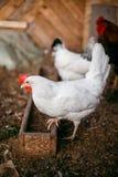 Σχάρες κοτόπουλου Φάρμα πουλερικών Στοκ εικόνες με δικαίωμα ελεύθερης χρήσης