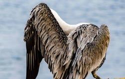 Σχέδια φτερών πελεκάνων στον όρμο της Λα Χόγια σε Καλιφόρνια Στοκ Εικόνες