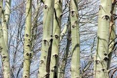Σχέδιο ματιών στον κορμό δέντρων λευκών Στοκ Φωτογραφία
